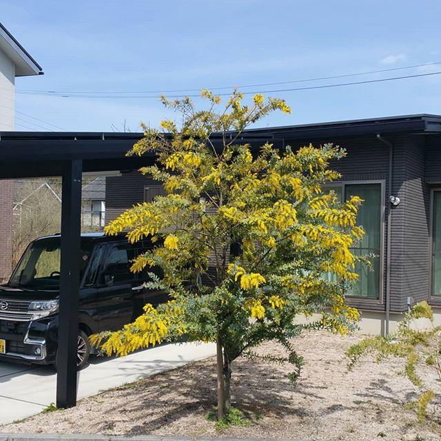 ミモザ咲きほこってるー!去年より2週間近く早いかなー。今年の剪定も頑張って来年もっと咲かせるぞ!#庭 #庭木 #ミモザ